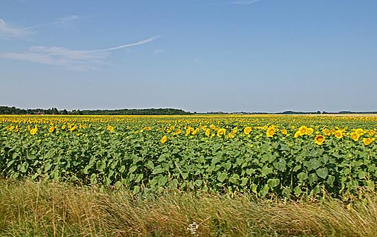 Solrosfält