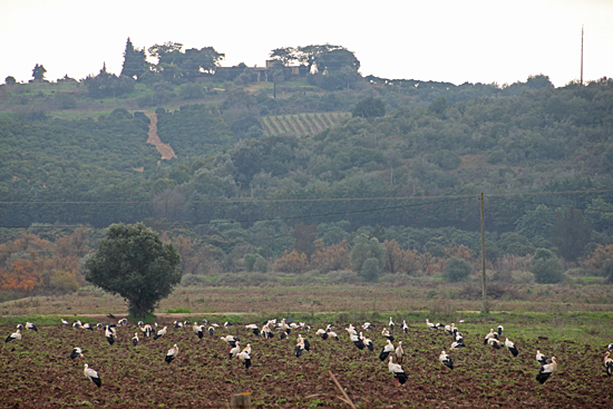 Silves-storkar-5