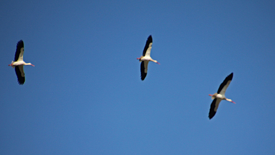 Silves-storkar