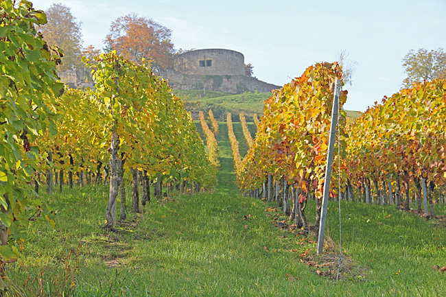 Vinrankor klättrar uppför berget mitt i stan.