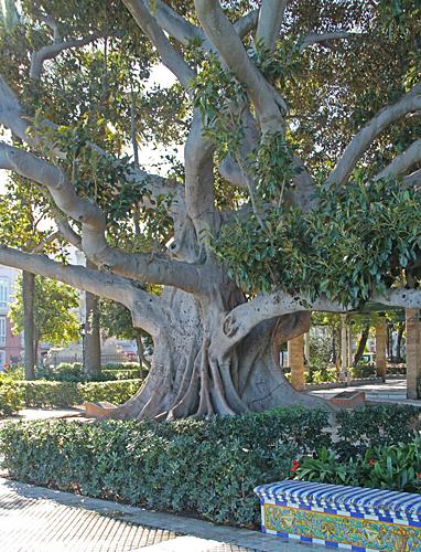 """Ett """"litet"""" fikusträd i en park trampade vi förbi vid Cadiz runt på cykel."""