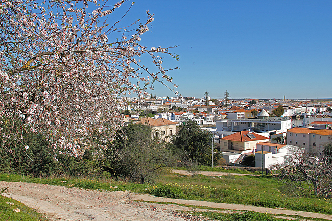 Mandelträd i full blomning på en kulle bakom staden.