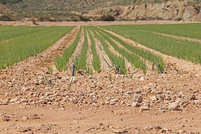 Här odlas lök i den karga jorden som består av lera och sten.