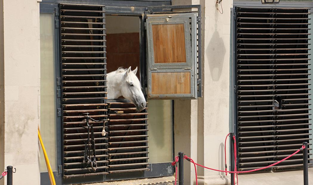 En Lipizzanerhäst tittar ut genom stalldörren.