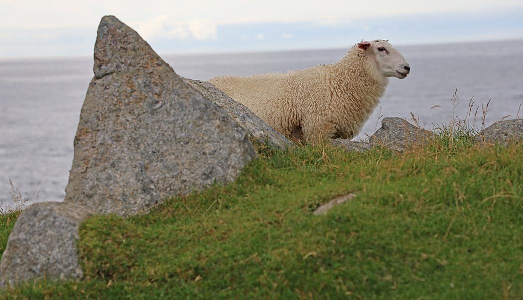 Ett får försökte gömma sig bakom en sten.